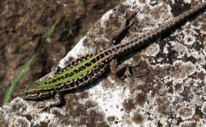 lizard Forum Romanum